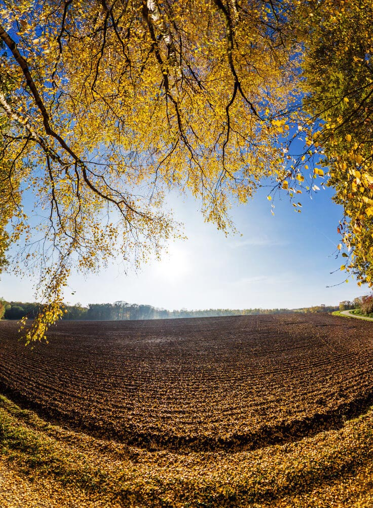 Herbst Birke Panorama